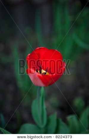 First Tulip