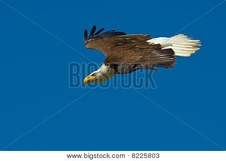 Close-up Of An American Bald Eagle In Flight