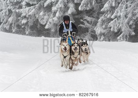Running Husky Dogs At A Dog Sled Race