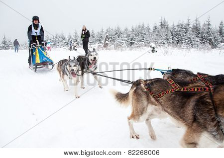 Dog-sledding Race