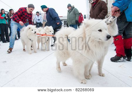 Samoyed Dogsled Race
