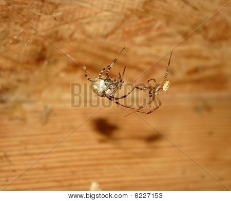 spiders mating dance