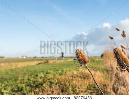 Parched Wild Teasels From Close