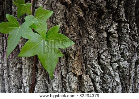 Climbing plant climbing a tree in a park poster