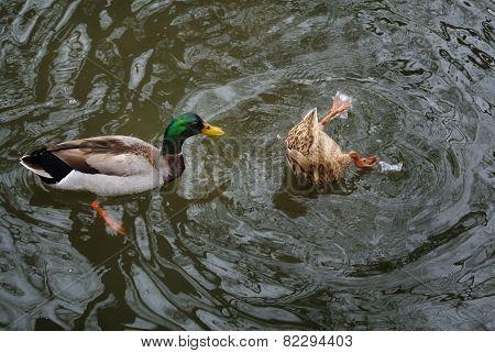 Play ducks