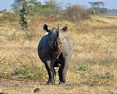 A Black Rhinoceros in the Kruger Park South Africa about to charge. poster