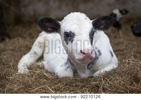 Very Young Black And White Calf In Straw Of Barn Looks Alert