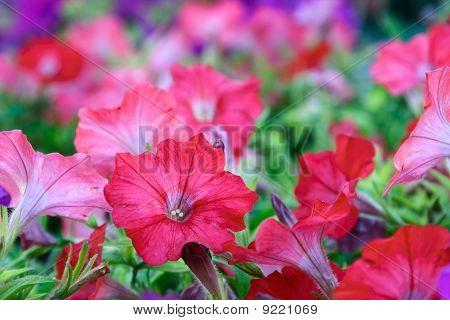Flower Background. Petunias