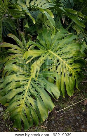 Monstera Green Plant Leaves in Hawaii