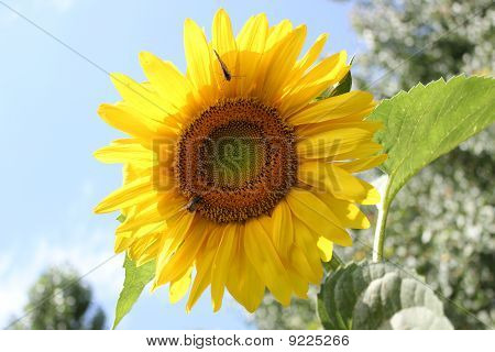 Sunflower alone