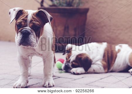 English Bulldog Puppies Outside Pavers Pastel