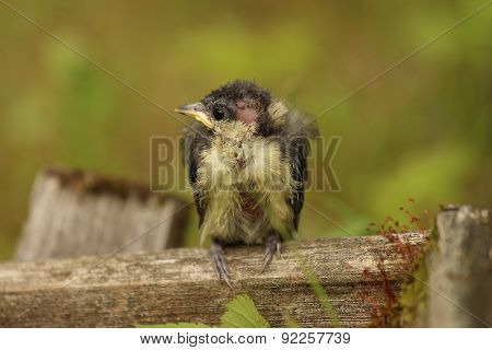 Anestlingis a youngbirdthat has not yet learned to fly. She fluttered around me like amotherbi