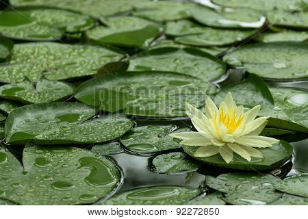 Yellow Water Lily After Rain