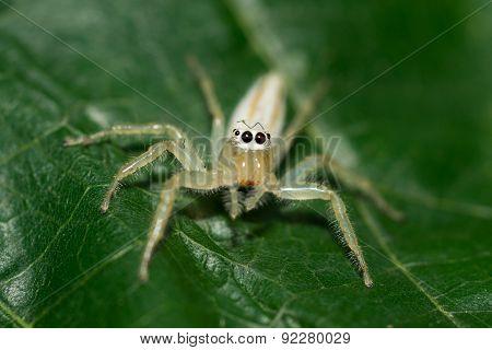 small white spider