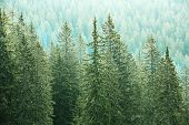 Healthy big green coniferous trees in a forest of old spruce fir and pine trees in wilderness area of a national park. Sustainable industry ecosystem and healthy environment concepts. poster
