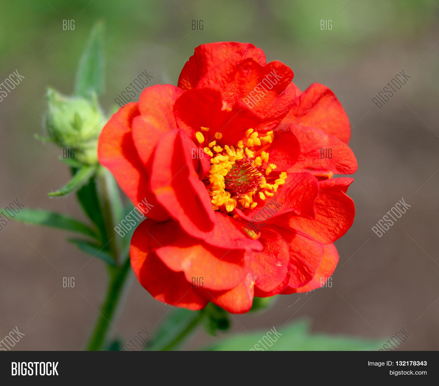 Bright red double image photo free trial bigstock the bright red double flower of geum chiloense mrs j bradshaw a perennial mightylinksfo