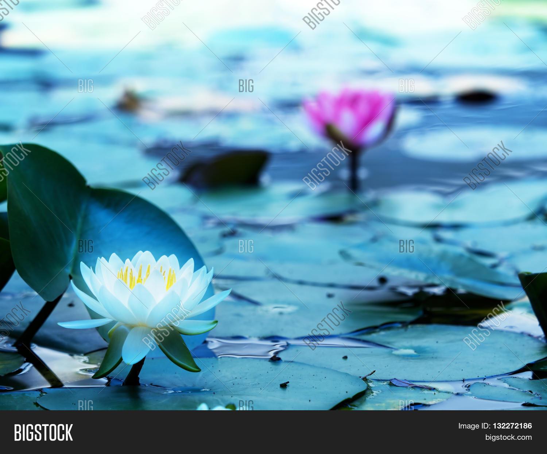 Lotus Flower Blooming Image Photo Free Trial Bigstock