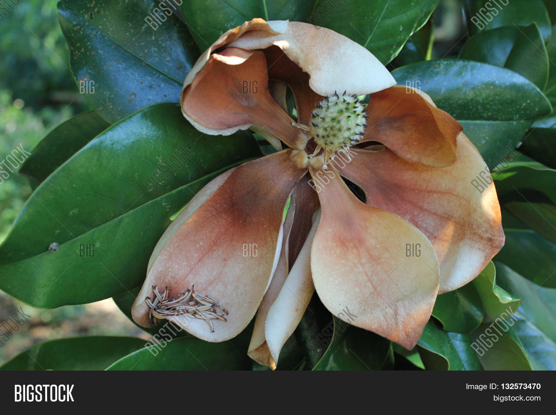 Southern Grandiflora Image Photo Free Trial Bigstock