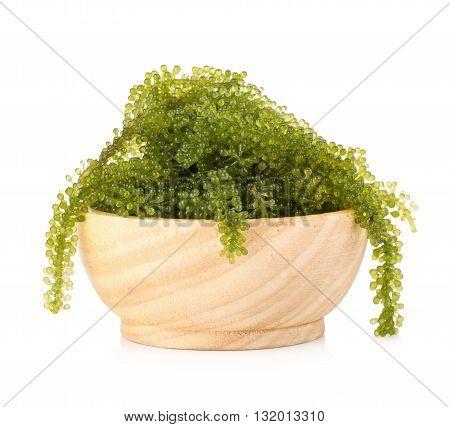 Umi-budou Seaweed Healthy sea food. Oval sea grapes seaweed. Healthy Food Close up Green Caviar on white background.