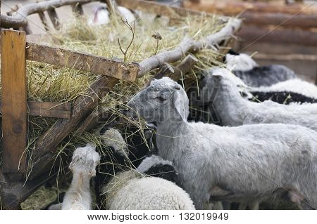 domestic animals sheep and goats eat hay