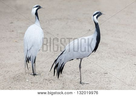 the two birds African crane standing outdoors