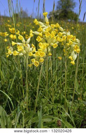Cowslip - Primula veris Meadow Flower against Blue Sky