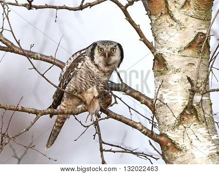 Northern Hawk Owl (Surnia ulula) in a tree with a mouse in his claws