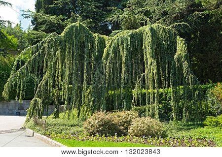 Cedar weeping - Cedrus atlantica coniferous tree