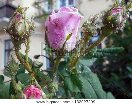 Rose Flower, who has not yet blossomed. Flower pink.