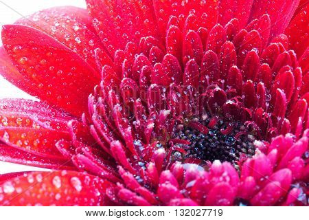Close Up Of A Red Gerbera Daisy