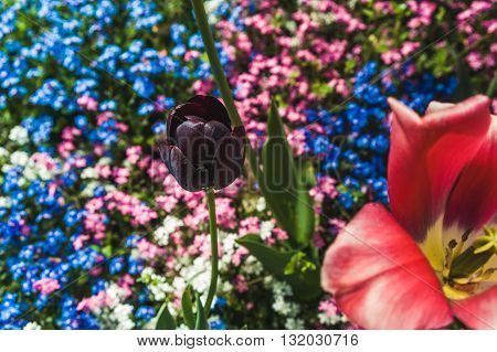 Bud black Tulip on the background of blooming forget-me-nots