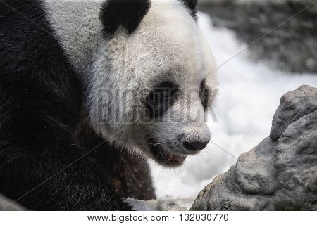Giant Panda Ailuropoda melanoleuca walking in the snow, national park Chiang Mai