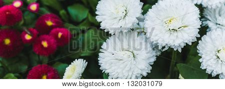 Red and white chrysanthemums on a background of green grass