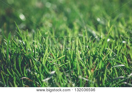 Green grass with morning dew in a bright day close up macro