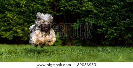 Happy havanese dog is running fast and jumping towards camera in the grass