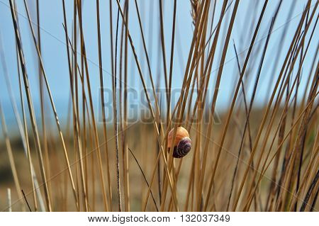 The stems European marram grass with shell of a snail on the Baltic Sea