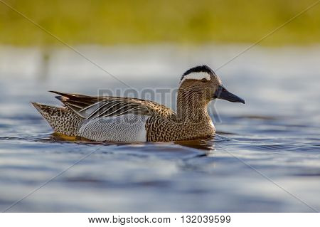 Male Garganey Duck