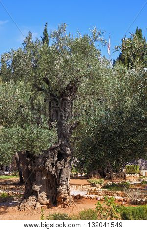 Small garden of Gethsemane at the foot of the Mount of Olives. Location prayer of Jesus on the night of his arrest