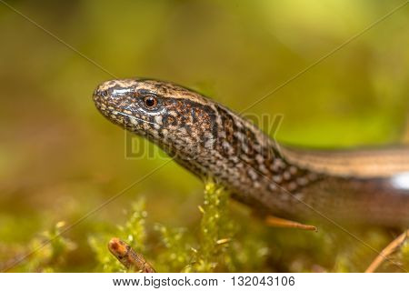 Close up of head of Slow Worm (Anguis fragilis) on moss in a forest of Dolomites Italy poster