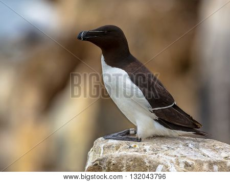 Razorbill Perched On Rock