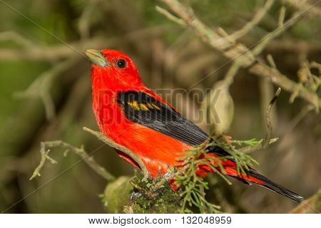 A Scarlet Tanager perched in a conifer tree.
