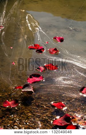 Rose petals and the ashes of a loved one float on lake water after a memorial service.