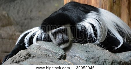 The mantled guereza (Colobus guereza), also known as the guereza, the eastern black-and-white colobus or the Abyssinian black-and-white colobus is a black-and-white colobus a type of Old World monkey.