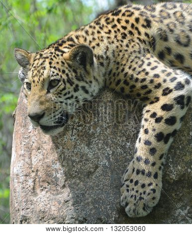 Jaguar is a big cat, a feline in the Panthera genus only extant Panthera species native to the Americas. Jaguar is the third-largest feline after the tiger and lion, and the largest in the Americas.