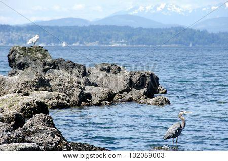 Heron And Seagull Near Alki Lighthouse