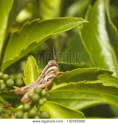 Macro of a grasshopper sitting on leaf.