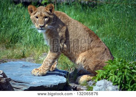 The lion is one of the four big cats in the genus Panthera, and a member of the family Felidae. With some males exceeding 250 kg (550 lb) in weight, it is the second-largest living cat after the tiger