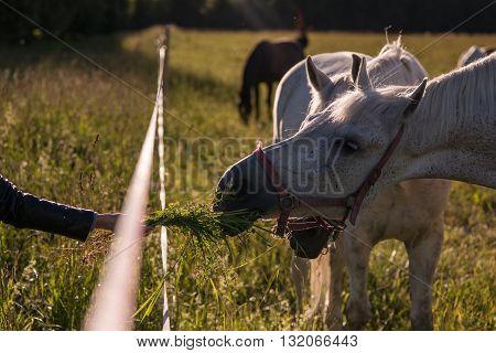girl feeding couple of white horses graze in a paddock
