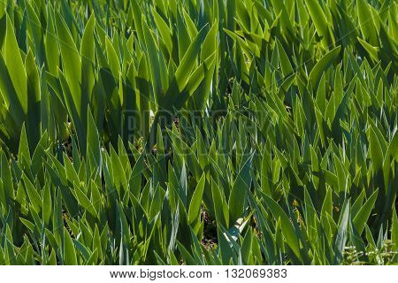 Green lawn with unblown irises. Floral nature background