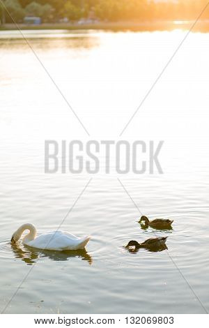 white swans and duck on the summer sunny lake swimming.